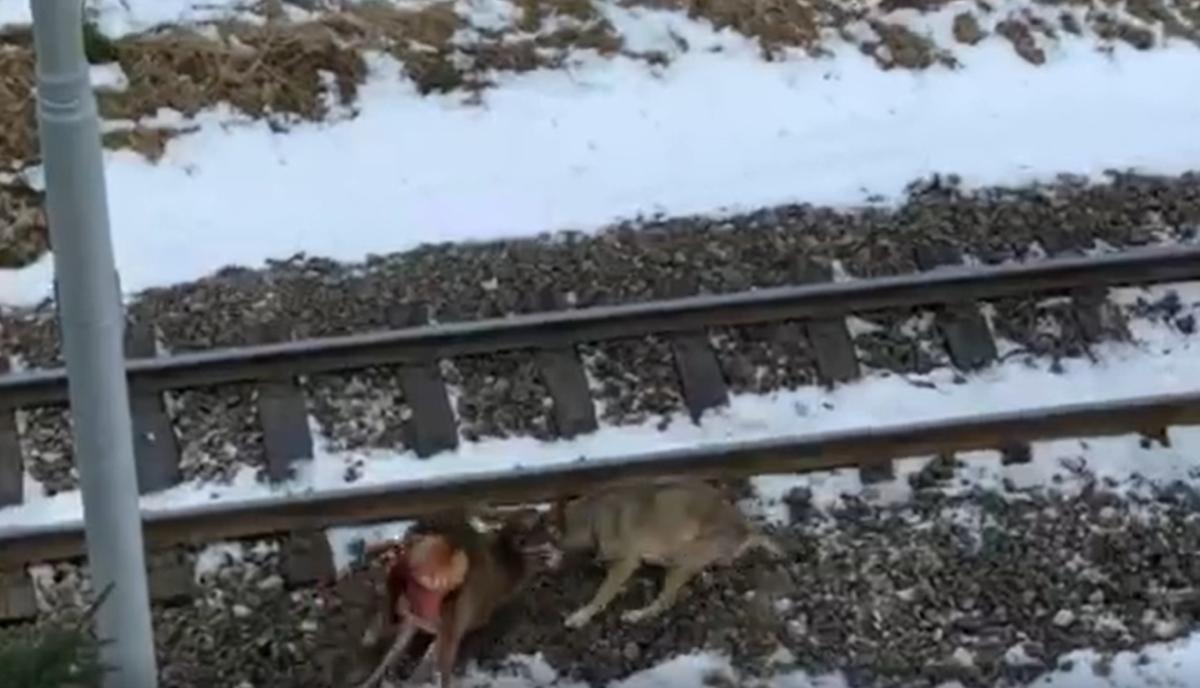 Video: Vlk zaútočil v Tatrách na mladého jeleňa za bieleho dňa