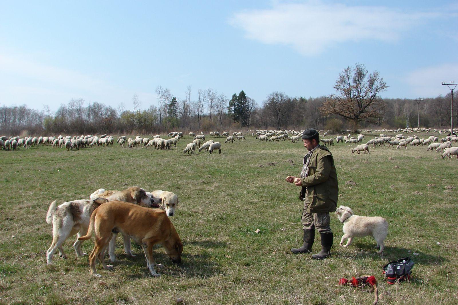 Dobré ovčiarske psy môžu ochrániť stádo pred šelmami. WWF chce pomôcť pri návrate týchto psov na salaše.