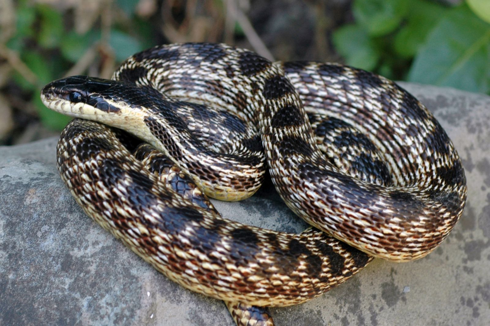 Naši vedci objavili nový druh hada. Nazvali ho po dávno zabudnutom kráľovstve
