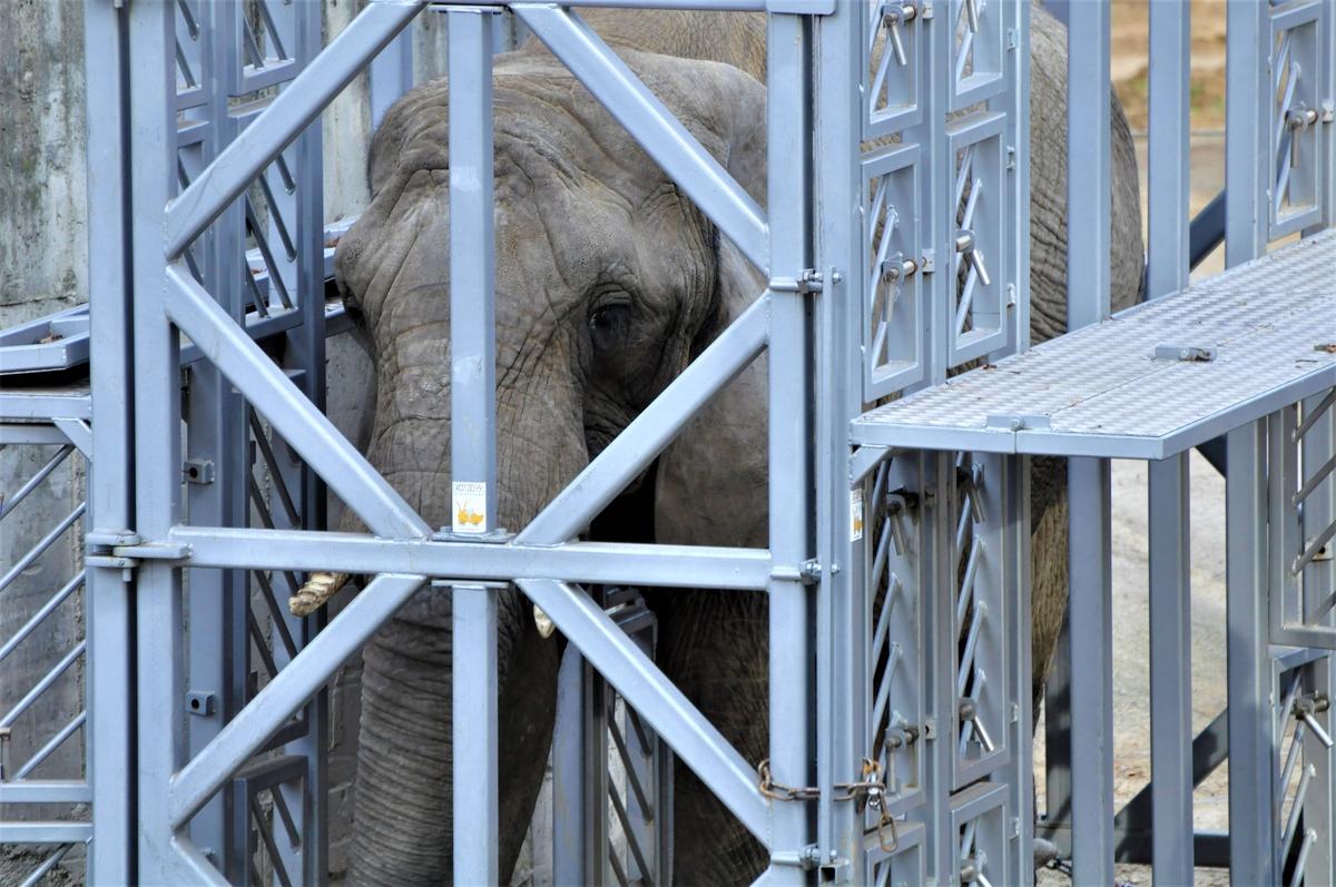 ZOO Bojnice: Dnes uskutočnil transport dvoch sloníc do novopostaveného pavilónu africkej fauny. (foto a video)
