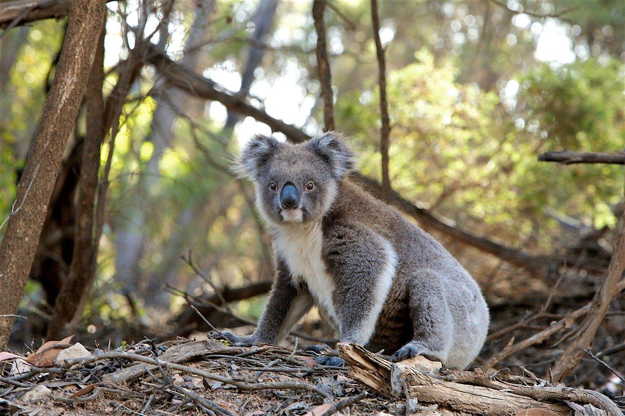V Austrálii hrozí úplne vyhynutie koál, vedci žiadajú vládu o okamžité riešenia