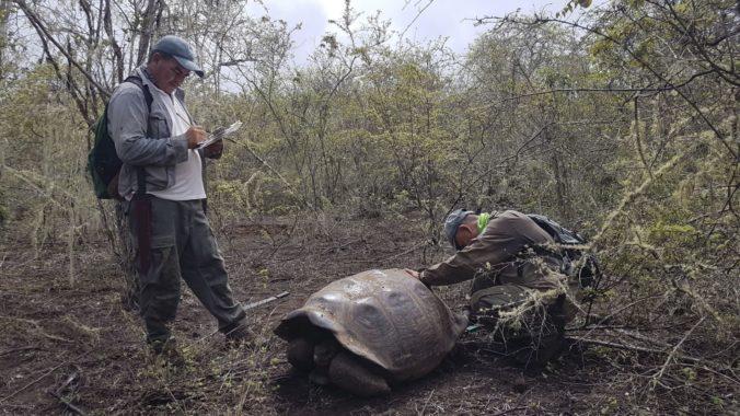 Tím ochranárov pracujúci v okolí najväčšieho vulkánu na Galapágach oznámil, že našiel 30 obrovských korytnačiek, ktoré sú čiastočnými potomkami dvoch vyhynutých druhov, medzi nimi aj toho, z ktorého pochádzal známy Osamelý George. 2. február 2020 Foto: SITA/AP