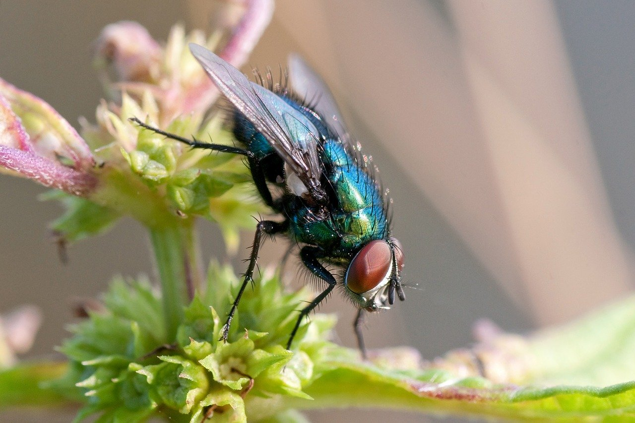 Ako muchy manévrujú za letu? Vedci vytvorili videohru s virtuálnou realitou, aby to pochopili