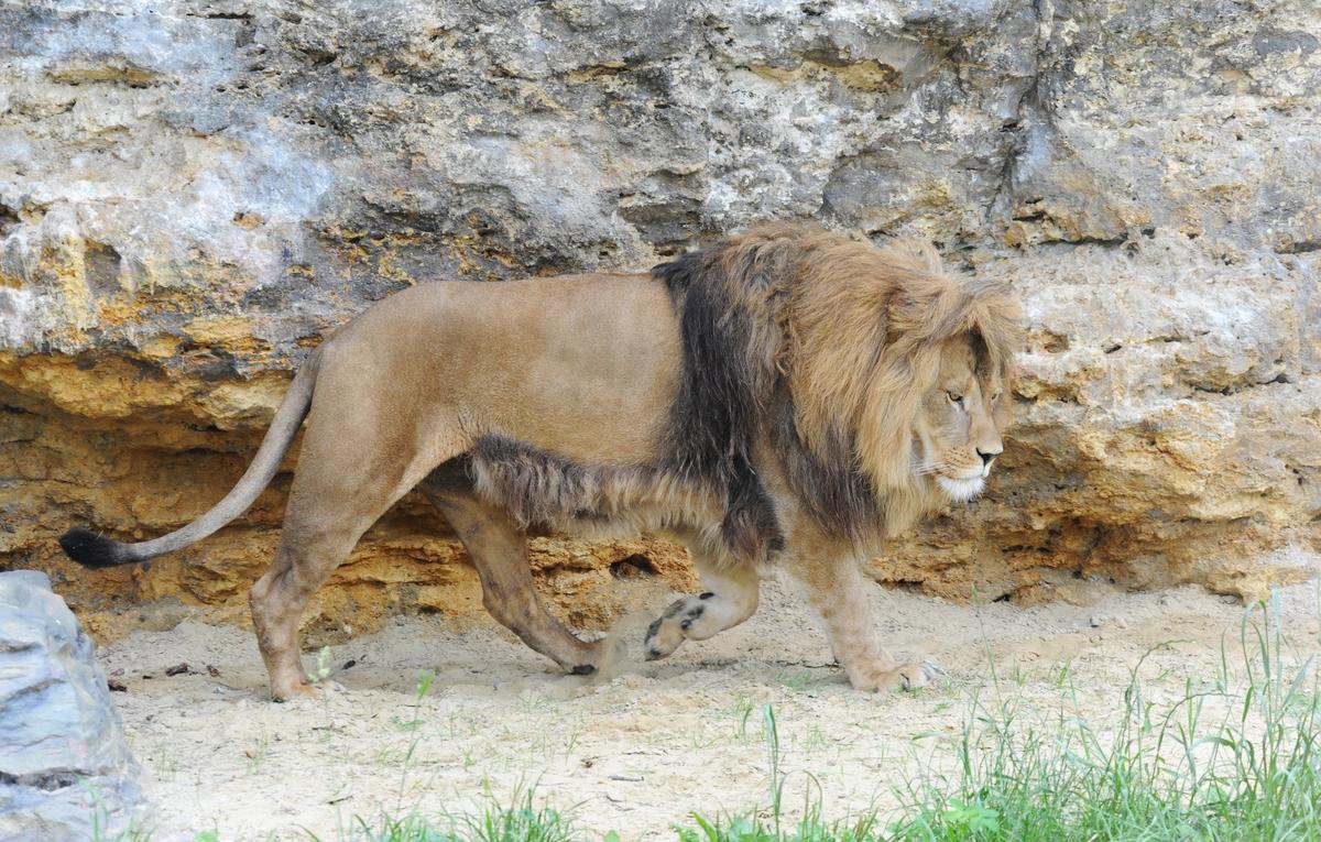 Zoo Bojnice lev