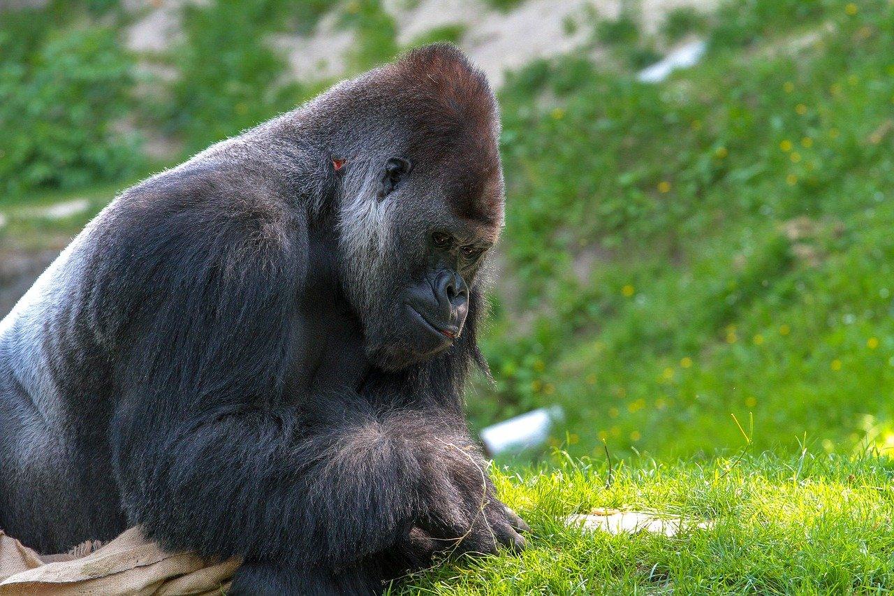 Gorily v kalifornskej zoo mali pozitívny test na koronavírus
