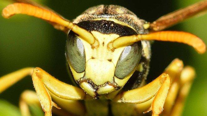 V USA útočia vražedné sršne na včely medonosné, iba v priebehu pár hodín dokážu zlikvidovať celý úľ