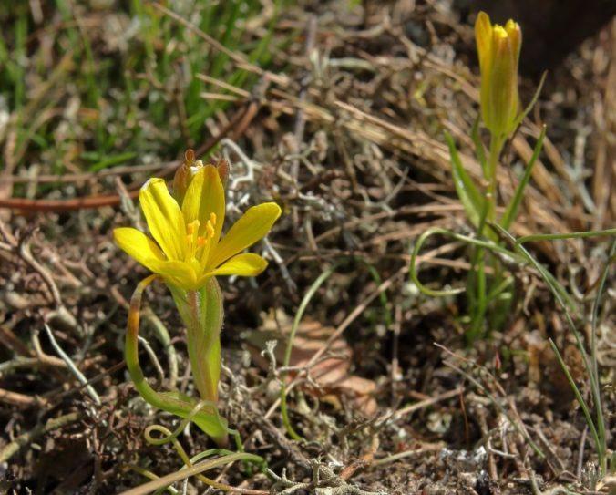Ochranári potvrdili výskyt krivca českého na Záhorí, rastlina sa v tejto oblasti objavila po 150 rokoch