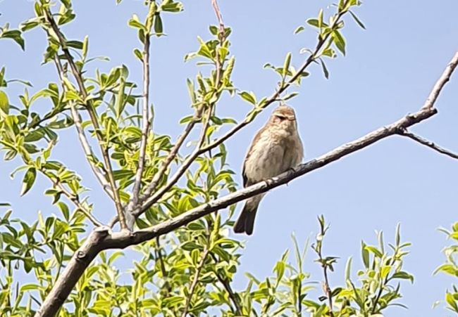 Na Slovensku objavili nový vtáčí druh, identifikovali ho podľa spevu - kolibiarika iberského (video)
