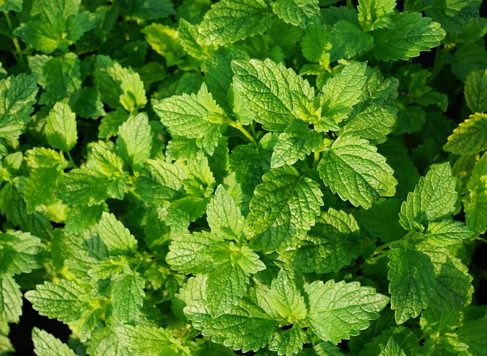 Mäta pieporná je nielen chutná ingrediencia, ale aj liečivá bylinka