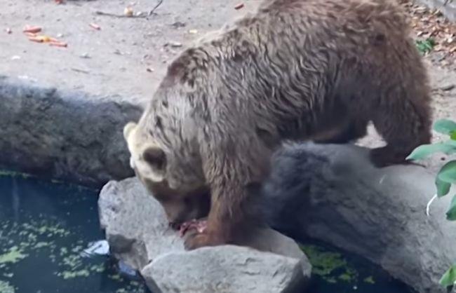 Tento medveď sa nečakane zahral na záchranára