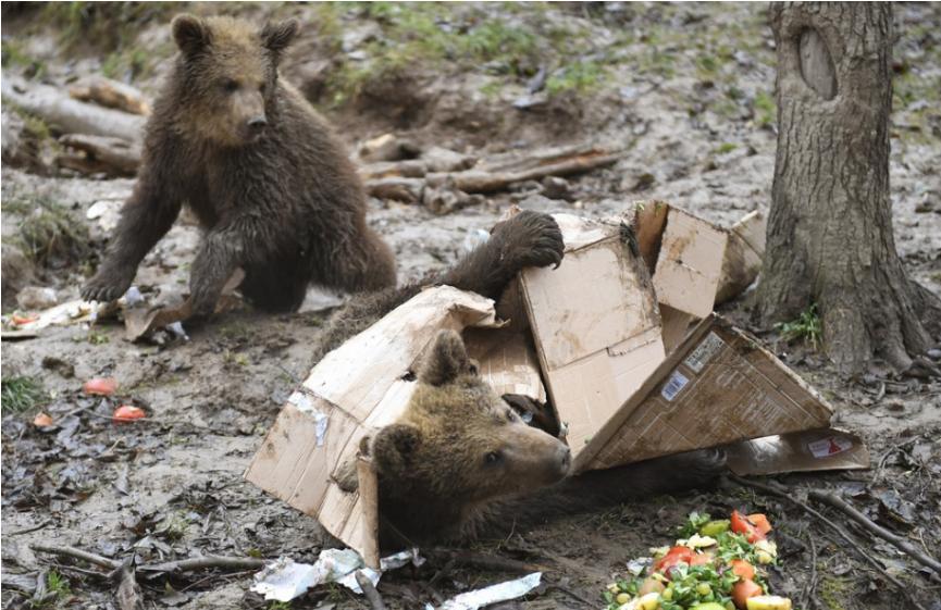 Medvedica s dvomi mladými opakovane spôsobujú škody medzi Hrebienkom a Starým Smokovcom vo Vysokých Tatrách.