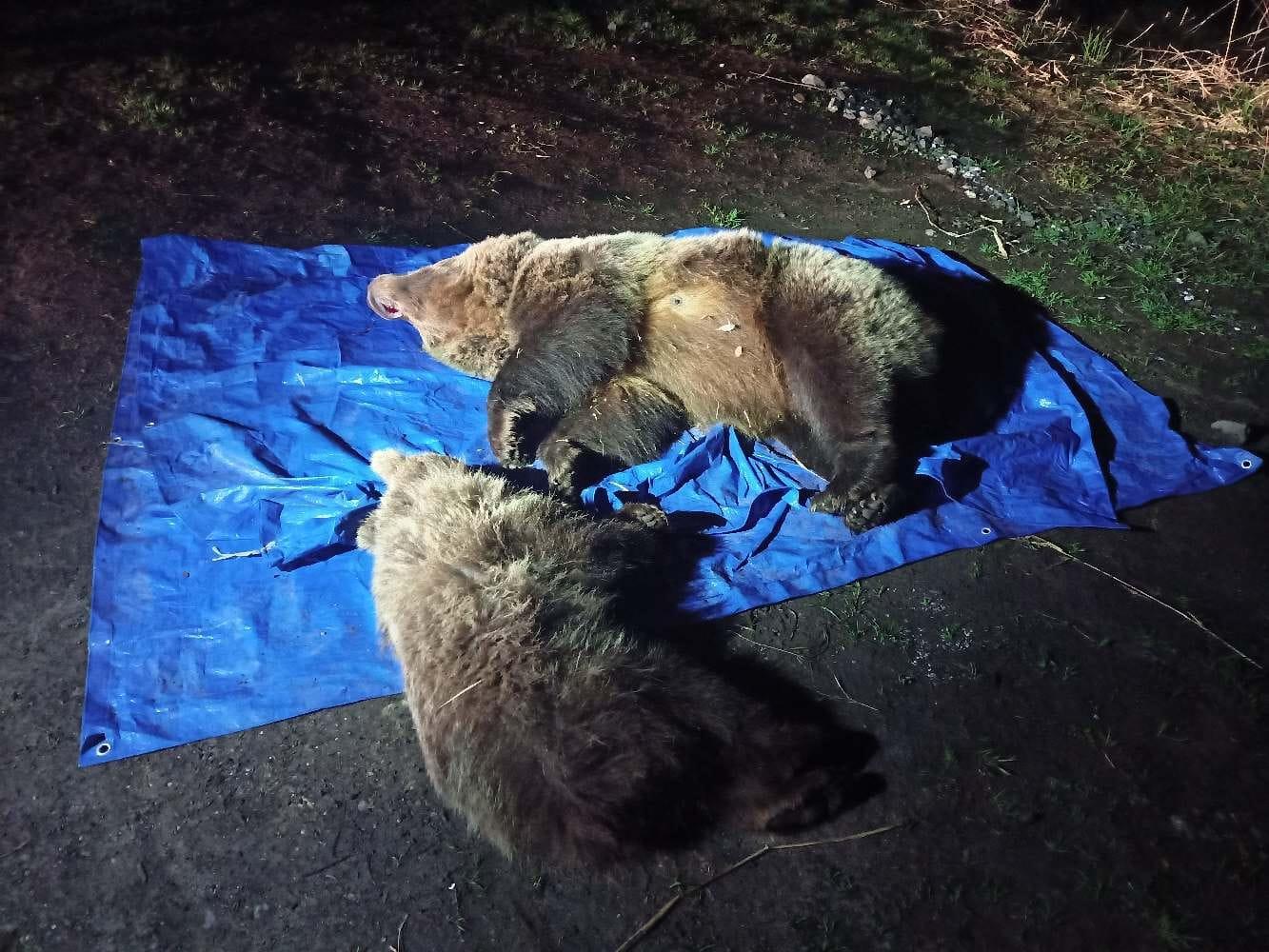 Štátni ochranári utratili medvedicu s mláďaťom, pred časom sa vlámala aj do cukrárne v Hornom Smokovci