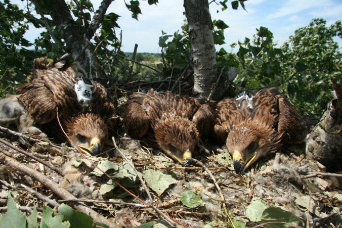 Ľudia môžu nahliadnuť do hniezd niektorých druhov dravcov, mláďatá ich onedlho opustia