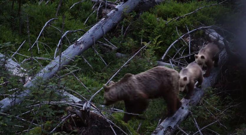 Video: Nasnímali medvede ako nikdy predtým