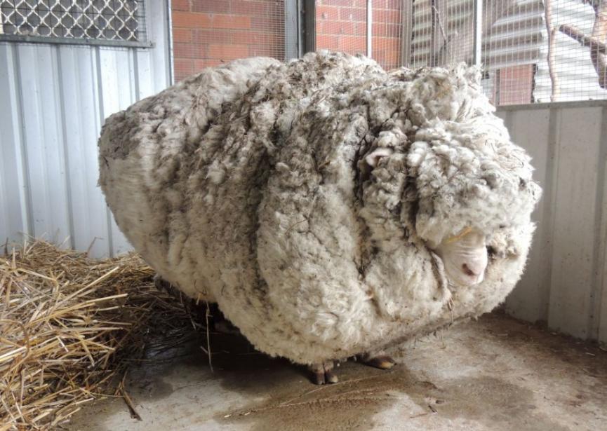 Zatúlanú ovcu po piatich rokoch zbavili 35 kilogramov vlny