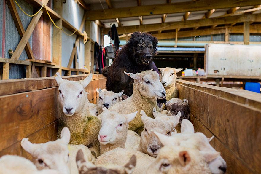 Fotograf fotí portréty najpracovitejších psov na svete