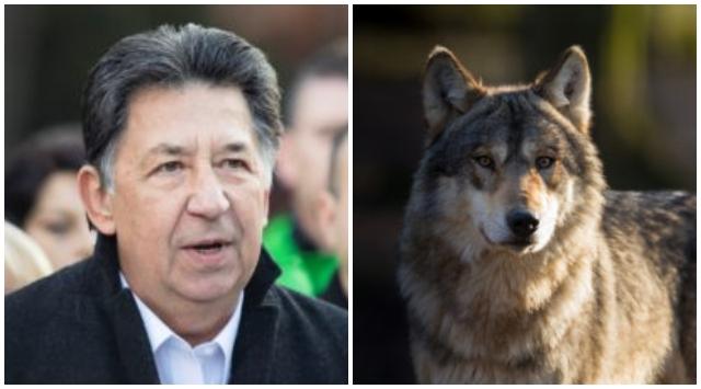Vlky mohli pomôcť s reguláciou diviakov, Budaj a ochranári považujú nové kvóty za chybu