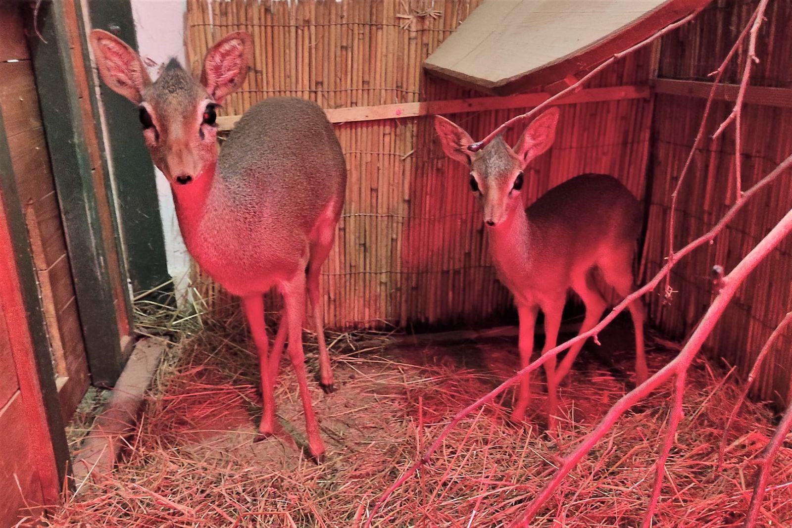 Národná zoo Bojnice sa teší z nového prírastku. Narodil sa samec dikdika Kirkovho