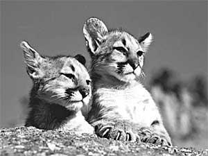 Mačky v AxiPIX  pazúry mačky a493b8da795